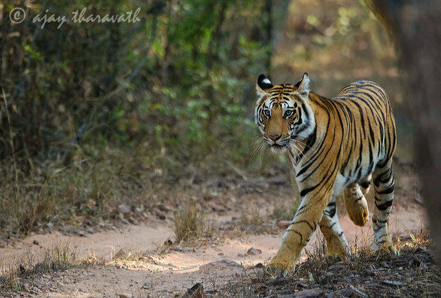 Next generation - the sub adult female cub of Yoshila (Sukhi Pathia female) from Magdhi zone. (c) AJAY KUMAR THARAVATH