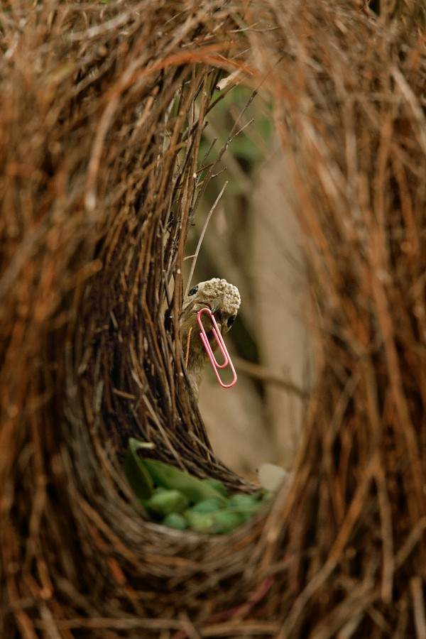 A male great bowerbird male shows off a pink paperclip. Photograph by Tim Laman, National Geographic