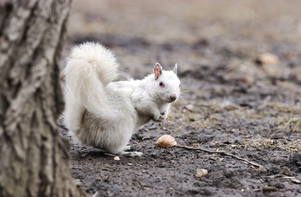 An albino squirrel. Photograph by Colin McConnell, Toronto Star via Getty