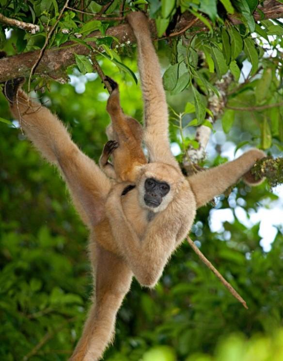 Membros longos e cauda preênsil conferem agilidade ao muriqui – Foto: Ricardo Martins