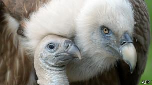 Los conservacionistas quieren elevar el perfil de los buitres para protegerlos.