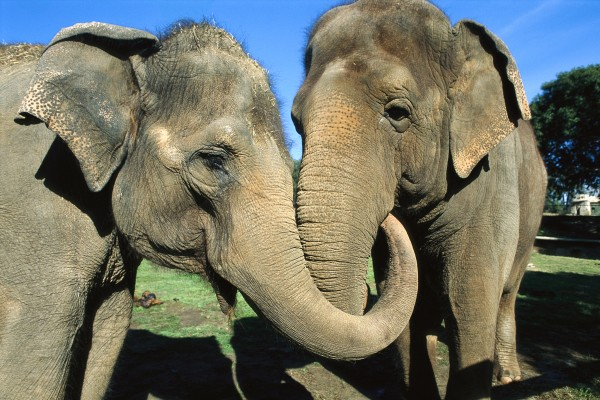 Asian elephants (pictured) caress each other when stressed. (Photograph by ZSSD, Minden Pictures/Corbis)