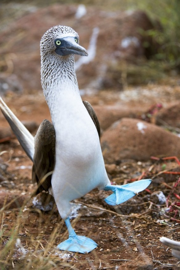 A blue-footed booby performs a courtship display on Ecuador's North Seymour Island in 2008. Photograph by Wolfgang Kaehler, Corbis