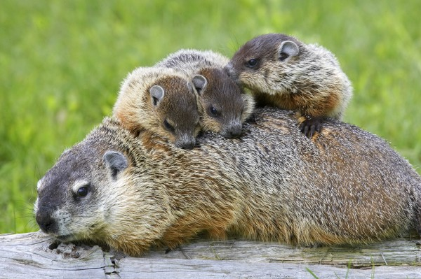 A family of groundhogs—otherwise known as woodchucks. Photograph by W. Perry Conway, Corbis