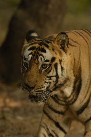 Shashi's in trouble again, limping after fighting his own son (c) Kay Hassall Tiwari