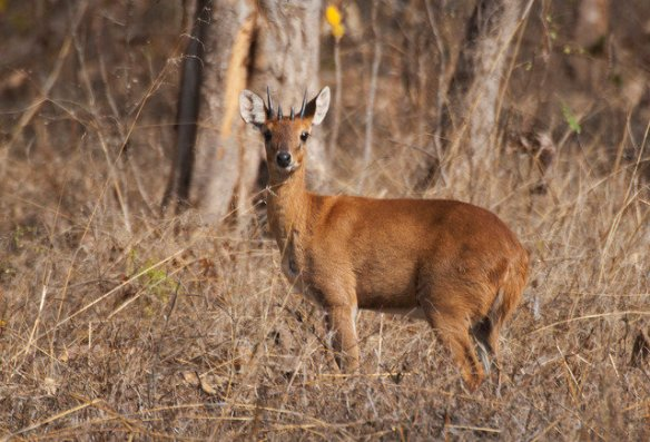 A small four horned antelope or locally named Chowsingha (c) Atul Dhamanker