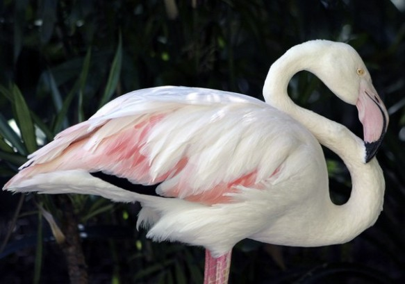 Greater, the 83-year-old flamingo that lived at Australia's Adelaide Zoo. Photograph by Nicole Miller/Adelaide Zoo/EPA