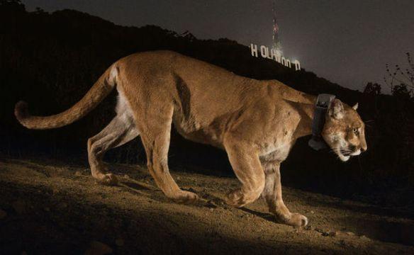 Uma câmera oculta registra um dos astros mais esquivos de Hollywood: um puma avistado pela primeira vez no parque Griffith há dois anos. A coleira com rádio permite acompanhar seus movimentos, mas os moradores da área mal sabem de sua existência. Foto:  Steve Winter