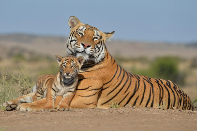 Ussuri and cub at Tiger Canyons. Photo: Tiger Conservation