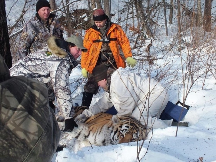 WCS specialists captured incapacitated Amur Tiger. Photo courtesy Vyacheslav Kostrikin