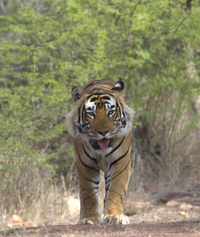 A further one of T42 strutting his stuff! (C) Srikanth