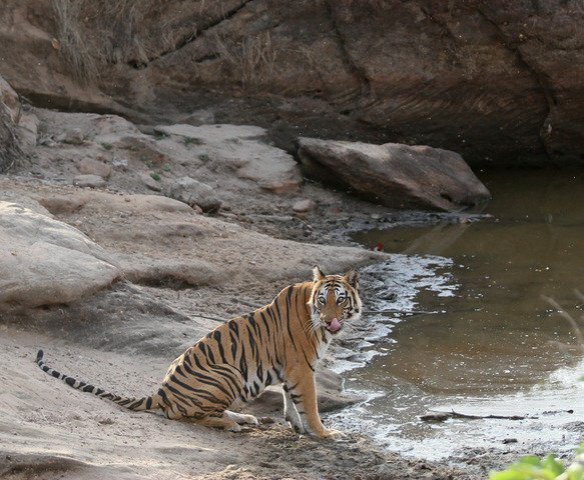 Haimi - The resident female of the Damdama area of Khitauli range quenches her thirst on a blistering hot summer afternoon. (c) Sriskandh Subramanian