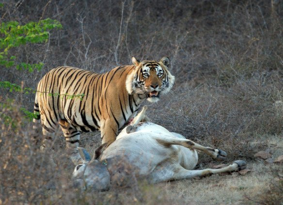 T42 stands over a cattle kill. He now accepts the fact that humans are part of his life. He is one of the finest specimens of tigers i have come across! (C) Sriskandh Subramanian close