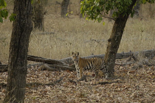J2 heads off across the forest after her brother June 2013 (c) Kay Tiwari