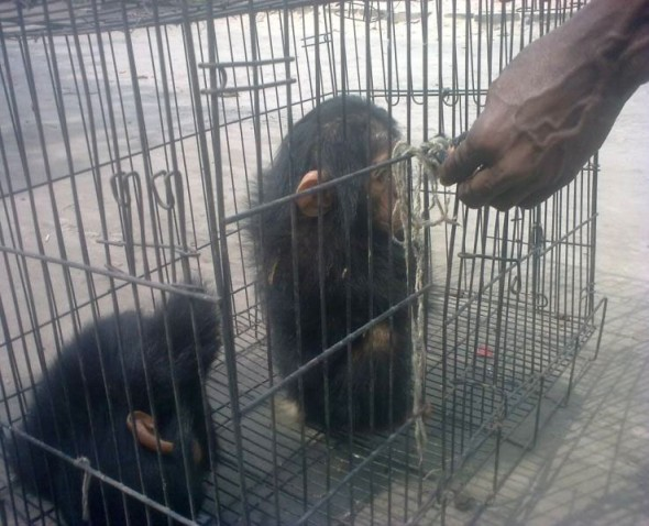 Baby chimpanzees caged and waiting to be sold overseas, far away from their home in the rain forests of Africa. Photo courtesy of Karl Ammann.