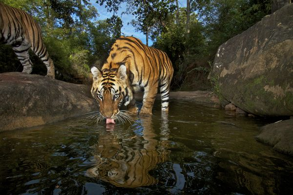 Bengal Tiger Photograph by Steve Winter