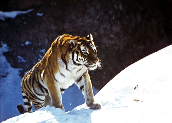 The programme to research the Amur tiger in Russia's Far East is an independent project which is carried out as part of the research being done by the expedition of the Russian Academy of Sciences on animals that have been placed on the Russian Federation's Red List of Threatened Species and other particularly important species of animals in Russia