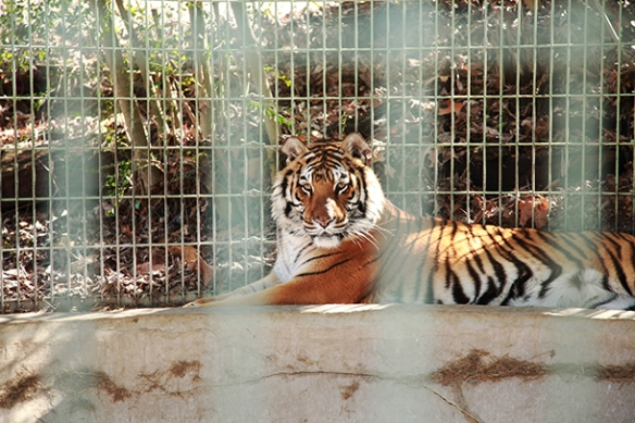 Sheba tigress . Wild animals kept as backyard pets or in roadside zoo exhibits cannot escape a life of misery. Without a change in the law, first responders trained to protect human safety will continue to risk their lives confronting these dangerous wild animals after escapes or attacks.