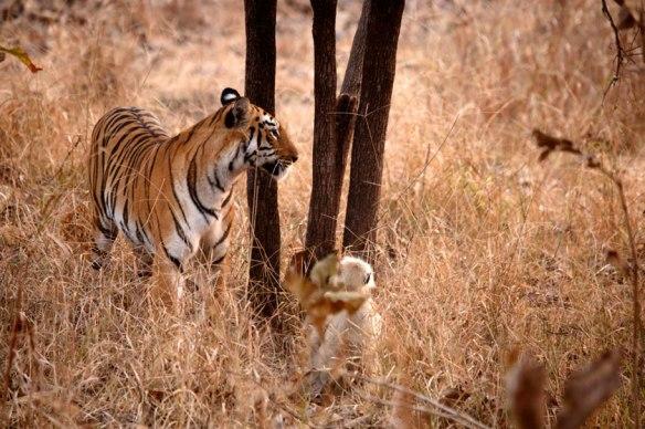 tiger-1tigeress