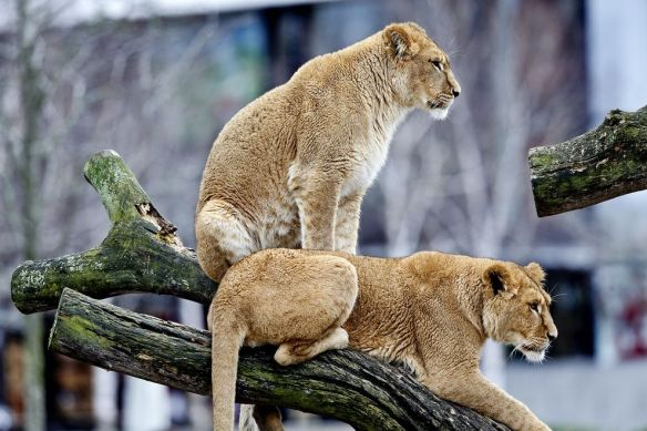 Two lionesses are seen at the Copenhagen Zoo on March 26, not long after four other lions were put to death. PHOTOGRAPH BY JENS DRESLING, POLFOTO/AP