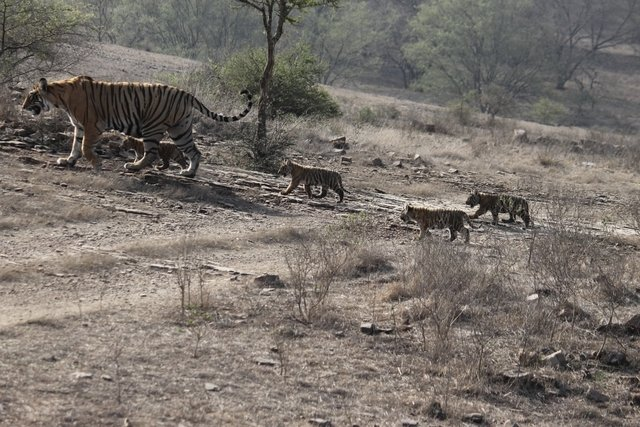 Unnis leads her 10 week old cubs up a hill to a new den. (c) Hemraj Meena