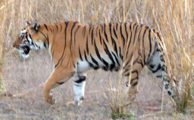 Left flank of Madhuri ID (c) Aditya Dhanwatey
