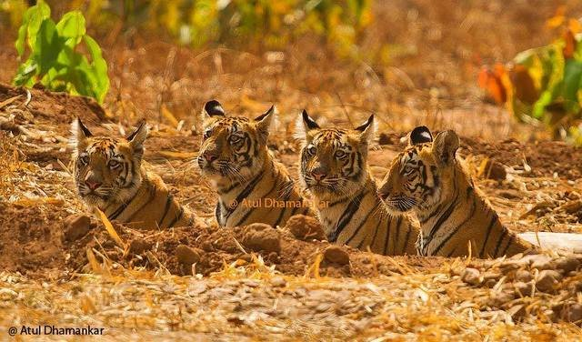 The Fab Four. All female cubs (Lara, Geeta, Sonam & Mona) of Madhuri in summer 2012 (c) Atul Dhamanker