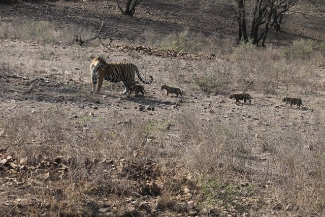 Unnis checking her four charges as they trot behind her (c) Hemraj Meena