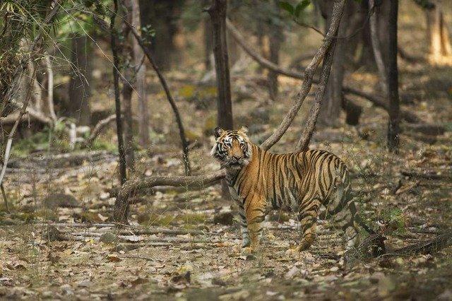 Pushpraj - the dangerous scrounger (c) Satyendra T