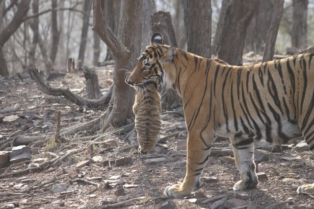 Unnis holding a cub in her mouth prepares to take them across water to her new den (c) Hemraj Meena