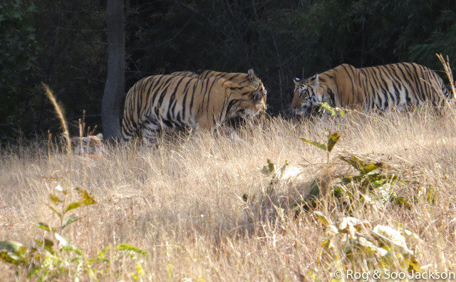 Tulsi and her 3 cubs all reunited on 30th Jan. (c) 2014