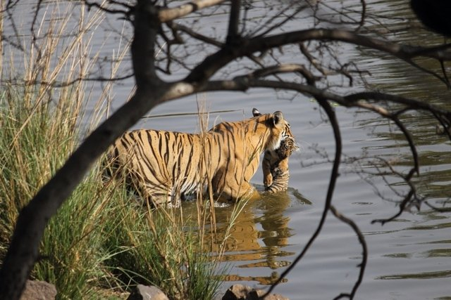 Unnis sets off across the water to deliver her cub safely to the other side (c) Hemraj Meena