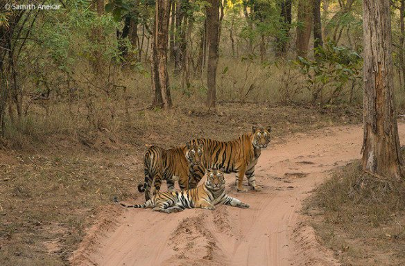 Three of Jaya's now independent cubs together in March 2013 (c) 2014