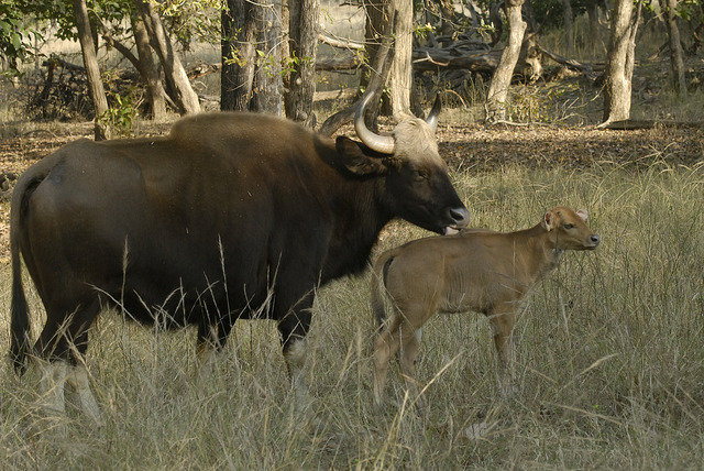 Mother and her calf from the small Gaur herd now in the Tala zone (c) Kay Hassall Tiwari