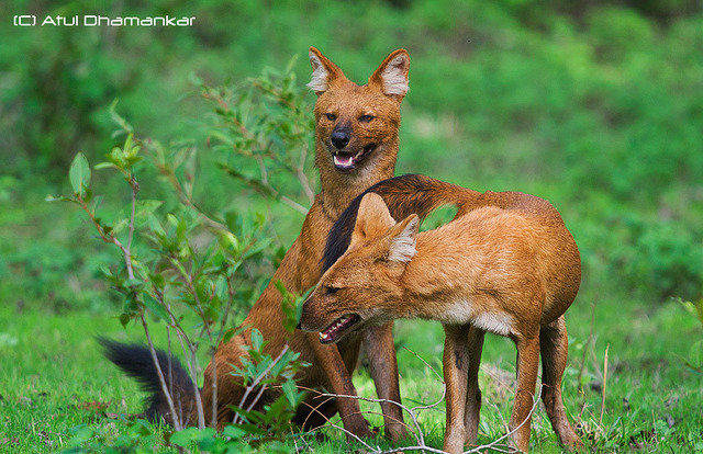 A playful pair of dholes or Indian wild dogs. Seen infrequently in the Magdhi zone (c) atul dhamanker