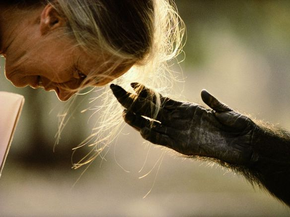 Primatologist Jane Goodall bends forward as Jou Jou, a chimpanzee, reaches out to her in Brazzaville, Congo. PHOTOGRAPH BY MICHAEL NICHOLS