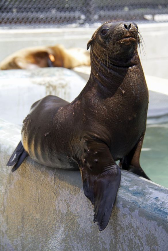 Hoppie, a California sea lion pup, recovers at the Marine Mammal Center after being rescued about 100 miles (160 kilometers) inland. PHOTOGRAPH BY SEAN BOGLE, THE MARINE MAMMAL CENTER