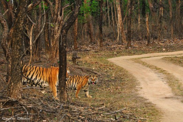 Baghin Nalla teaches her cubs the art of the road (c) Gaurav Dhotre