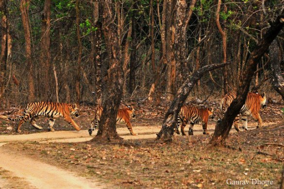 Mum leads them onwards (c) Gaurav Dhotre