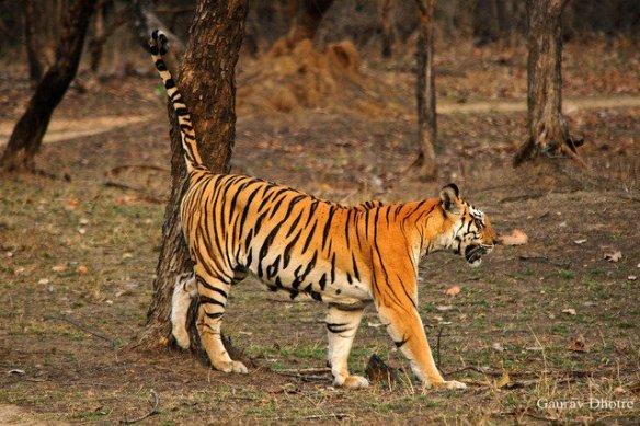 Mum lays down her territorial markers (c) Gaurav Dhotre