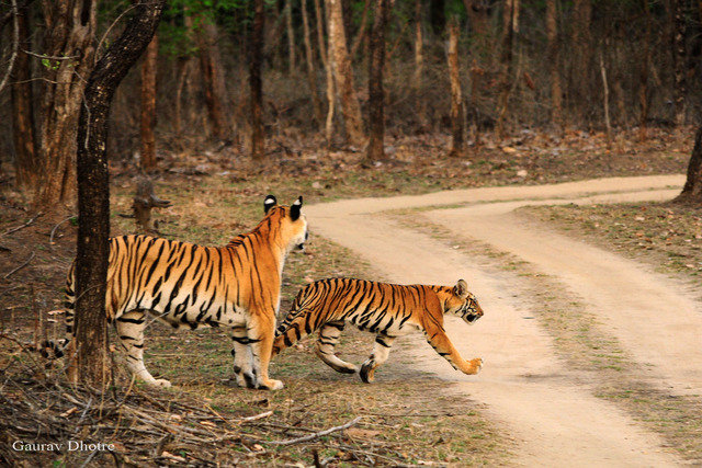 The third cubs crossing the road after being given the all clear (c) Gaurav Dhotre