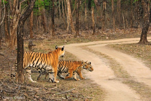 Mum and cubs prepare to cross the open road (c) Gaurav Dhotre