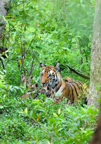 Vijaya and her second litter of three cubs near Jumunia in the Tala Zone. (c) Imtiaz Khan