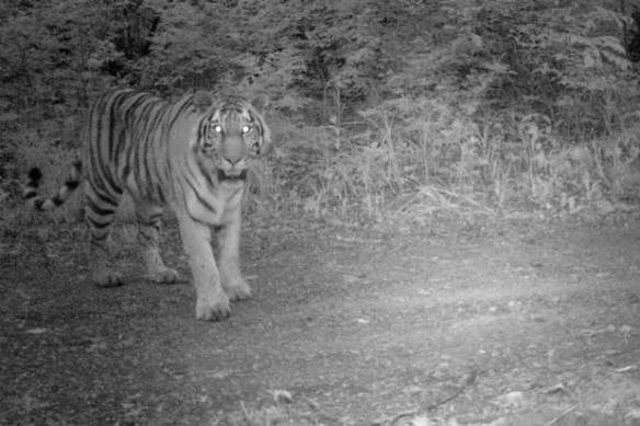An Amur tiger captured by a WWF photo-trap. By some estimates there are only 500 tigers left