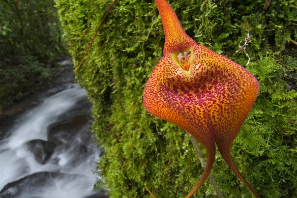 A Masdevallia orchid's aroma is irresistible to a fly. Photograph by Christian Ziegler, National Geographic