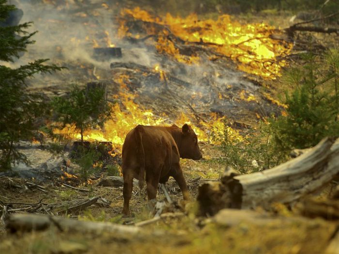 A cow walks by flames from the Rim fire near the Yosemite National Park border in Groveland, California, on August 24, 2013. PHOTOGRAPH BY NOAH BERGER, EPA