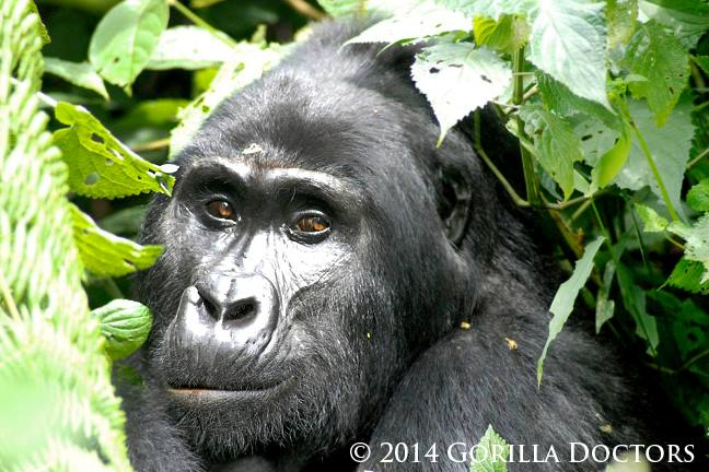 Blackback Kabukojo, the young leader of Rushegura group in Bwindi Impenetrable National Park.