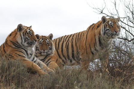 Corbett (right), sister Panna (left), brother Sariska (middle)