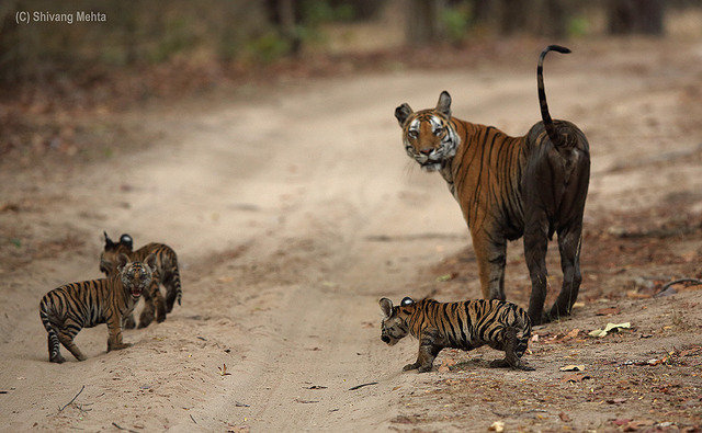 Vijaya and her three cubs on the road (c) Shivang Mehta