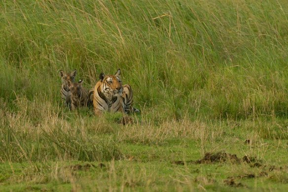 Vijaya and her new small family in Chakradhara meadow (c) Kay Hassall Tiwari